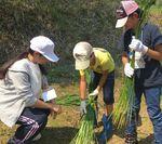 【夢米棚田プロジェクト】七島イの収穫作業を行いました