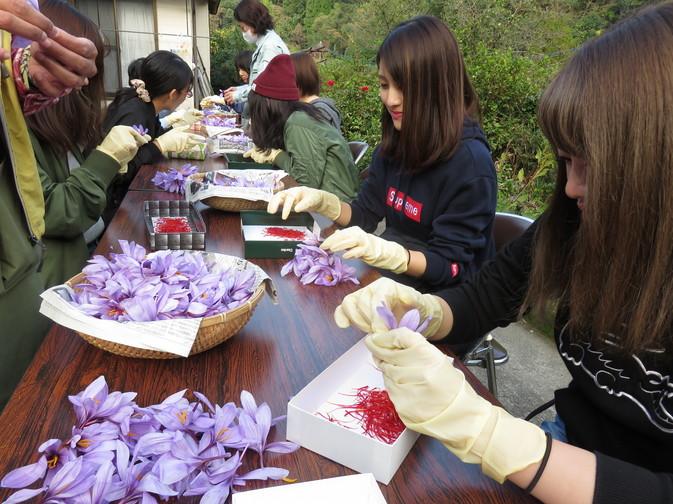竹田市でサフラン収穫実習を実施しました